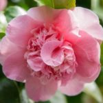 The Mary Potter Camellia